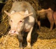 Búfalo del albino que mastica la hierba Fotos de archivo libres de regalías