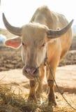 Búfalo del albino que mastica la hierba Imágenes de archivo libres de regalías