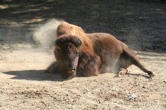 Búfalo del bisonte Fotos de archivo libres de regalías