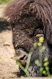 Búfalo del bisonte americano que descansa sobre la arena imagen de archivo