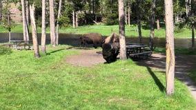 Búfalo del bisonte de Bull en el parque nacional de Yellowstone metrajes