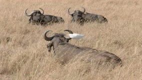 Búfalo del cabo con una garceta en su parte posterior en masai Mara metrajes
