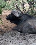 Búfalo del cabo del soltero Fotografía de archivo