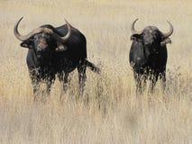Búfalo del cabo en veld del invierno Foto de archivo libre de regalías