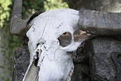 Búfalo del cráneo Fotos de archivo libres de regalías