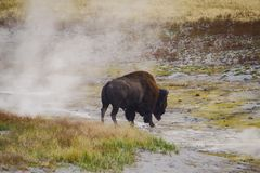 Búfalo do bisonte americano no parque nacional de Yellowstone na grama foto de stock