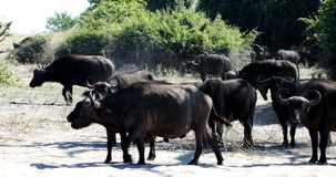 Búfalo do cabo animais selvagens do safari no rio de Chobe, Botswana filme