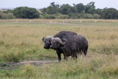 Búfalo do cabo, Kenya, África imagem de stock