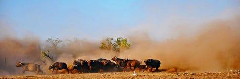 Búfalo do cabo & poeira, Zimbabwe Fotos de Stock Royalty Free