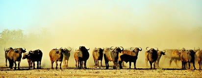 Búfalo do cabo & poeira, Zimbabwe Fotos de Stock