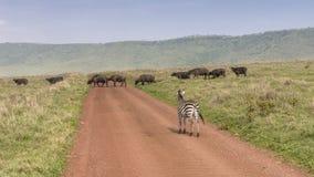 Búfalo duro e zebras do od Afrcan na estrada Imagens de Stock Royalty Free