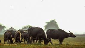 Búfalo e pantanais que nutrem a vida imagem de stock