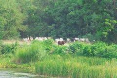Búfalo e vaca com animais selvagens da natureza Imagens de Stock Royalty Free