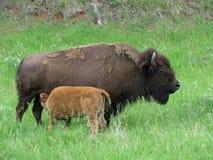 Búfalo e vitela da mãe no selvagem Imagem de Stock