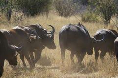 Búfalo em África do Sul Imagens de Stock Royalty Free