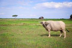 Búfalo em Ásia imagens de stock royalty free