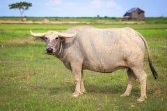 Búfalo em Ásia Fotos de Stock Royalty Free