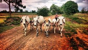 Búfalo em Isaan, Tailândia Imagem de Stock
