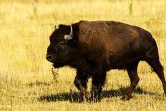 Búfalo em Lamar Valley Yellowstone Fotografia de Stock