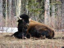 Búfalo em repouso Fotografia de Stock Royalty Free