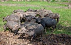 Búfalo em Tailândia Imagens de Stock