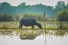 Búfalo em Tailândia Foto de Stock Royalty Free