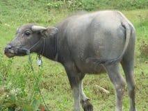 Búfalo em Tailândia Imagem de Stock