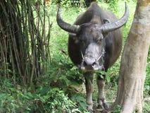Búfalo em Tailândia Fotografia de Stock Royalty Free