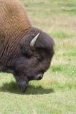 Búfalo em um prado Imagens de Stock