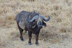 Búfalo en África Imagen de archivo