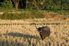 Búfalo en campo Imagenes de archivo