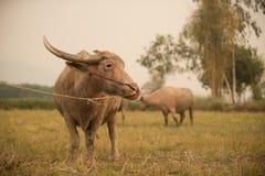 Búfalo en campo Foto de archivo