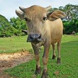 Búfalo en campo verde Imagenes de archivo