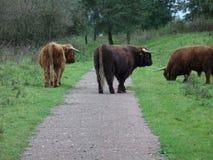 Búfalo en el camino Fotos de archivo