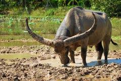 Búfalo en el fango Imagenes de archivo