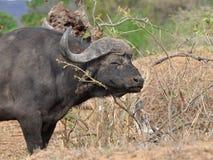 Búfalo en el parque nacional de Kruger Imágenes de archivo libres de regalías