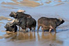 Búfalo en el parque nacional de Kruger, Suráfrica Foto de archivo libre de regalías