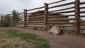 Búfalo en el parque zoológico almacen de metraje de vídeo