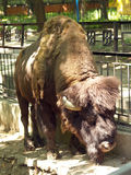 Búfalo en el parque zoológico Fotografía de archivo
