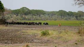 Búfalo en el pasto de The Field en la sabana africana almacen de video