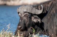 Búfalo en el río de Chobe Fotos de archivo