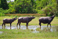 Búfalo en fauna en la KOH Kho Khao Imagen de archivo