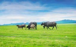 Búfalo en fondo del paisaje de la naturaleza Foto de archivo