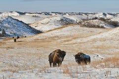 Búfalo en invierno Fotografía de archivo libre de regalías