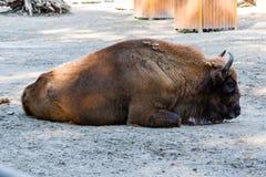 Búfalo en la hierba Imagenes de archivo