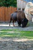 Búfalo en la hierba Imagen de archivo libre de regalías