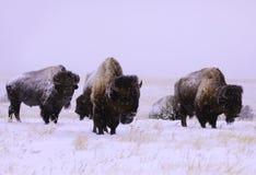 Búfalo en la nieve Fotografía de archivo