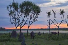 Búfalo en la puesta del sol Imágenes de archivo libres de regalías