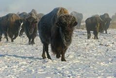 Búfalo en niebla del invierno Fotografía de archivo