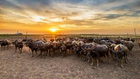 Búfalo en Tailandia en la puesta del sol Fotos de archivo libres de regalías